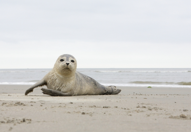 A young seal on the beach of Ameland island
