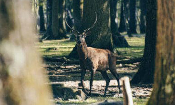 france-rambouillet-forest-deer